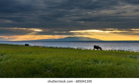 Moose grazing near Cook Inlet in Anchorage, Alaska