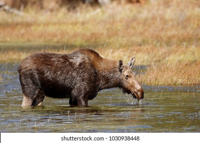 A moose with hair loss from winter tick