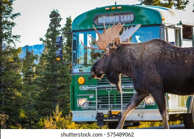 Moose has right of way, Denali National Park, Alaska