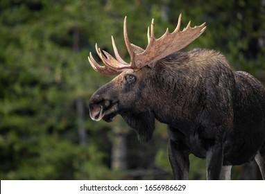 A moose in Jasper Canada