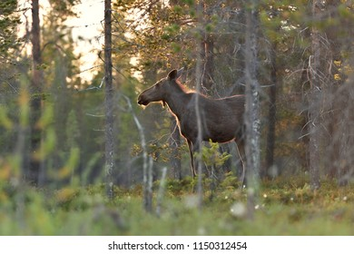 Moose in Lapland forest, Finland