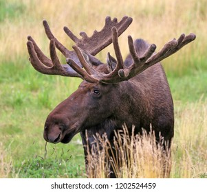 moose with large antler rack in meadow, Alaska, USA