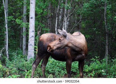 Moose looking backwards in Alaskan Woods