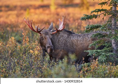 Moose male Alaska, Denali National Park