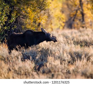 Moose in the meadow Grand Tetons