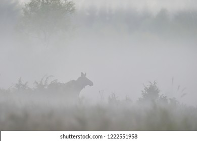 Moose in the mist. Moose in the fog.