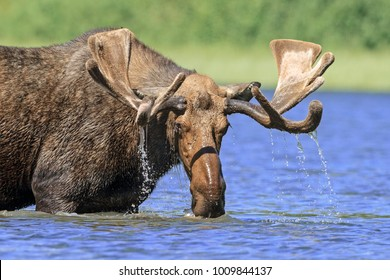 Moose in Mountain Lake