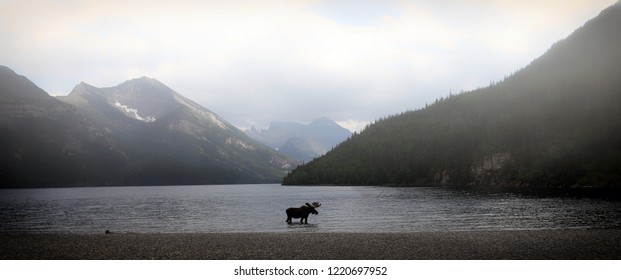 moose in a mountain lake on a foggy day in alberta, canada