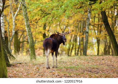 The moose (North America) or elk (Eurasia) scientic name (Alces alces) in the autumn forest.Big male in the forest.
