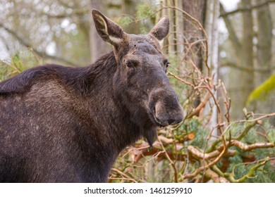 The moose (North America) or elk (Eurasia), Alces alces is a member of the New World deer subfamily and is the largest and heaviest extant species in the deer family.