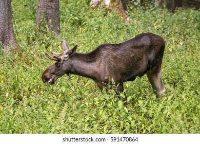 The moose (North America) or elk (Eurasia), Alces alces, is the largest extant species in the deer family. Photographed in Europe.