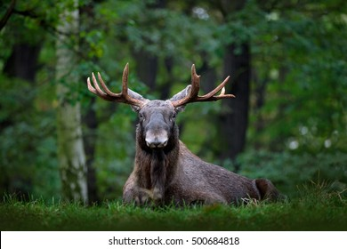 Moose, North America, or Eurasian elk, Alces alces in the dark forest during rainy day. Beautiful animal in the nature habitat. Wildlife scene from Sweden.