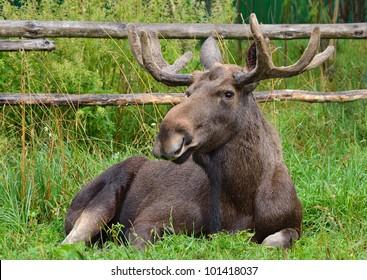 moose on the farm