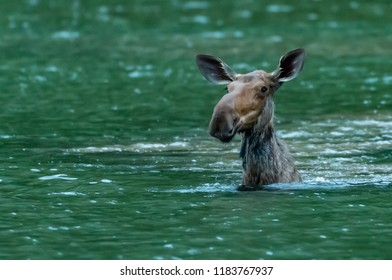 Moose Pops Up From Feeding Underwater with silly ears