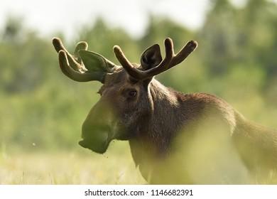 Moose portrait at daylight in the bog. Moose antlers.