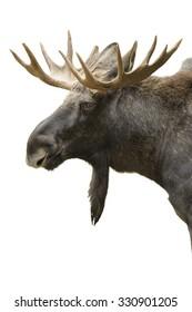 Moose portrait isolated on white