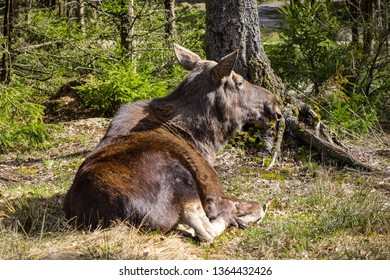 A moose rests in a moose park in Sweden. A typical feature of a moose park is that you can drive through the forest. Moose are not afraid of cars. With such a safari you get very close to the animals.