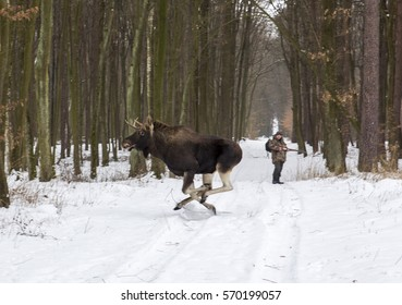 Moose are running away while hunting in the winter forest