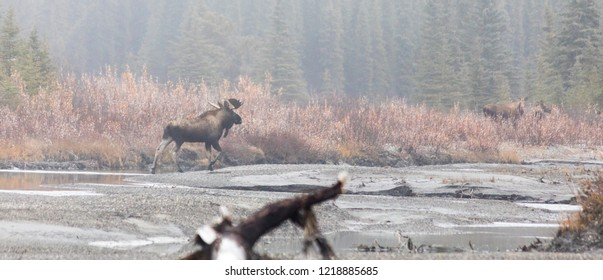 Moose in Rut