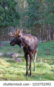 Moose seen next to the road in a forest close to Markaryd in the southern part of Sweden