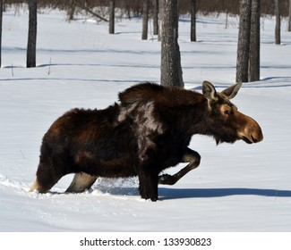 Moose sinking in deep snow