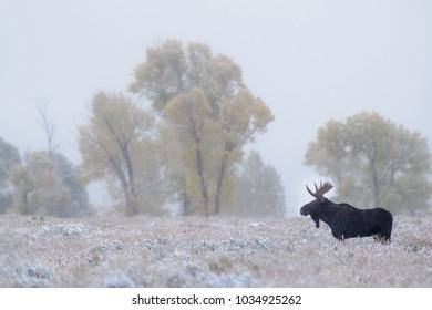 Moose in snowy field