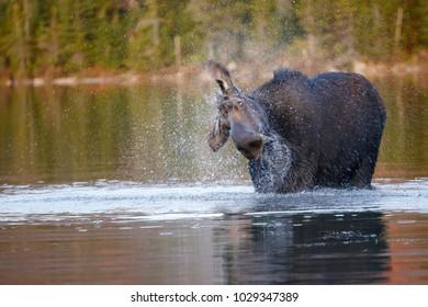 A moose splashing