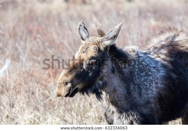 Moose In Spring