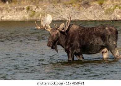 Moose standing in Gros Ventre River