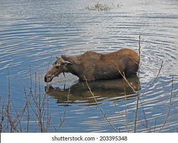 Moose standing in the water drinking