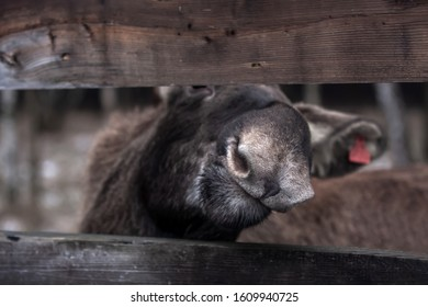 the moose stuck his nose into the gap of the fence