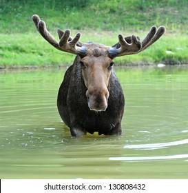 Moose in their natural habitat