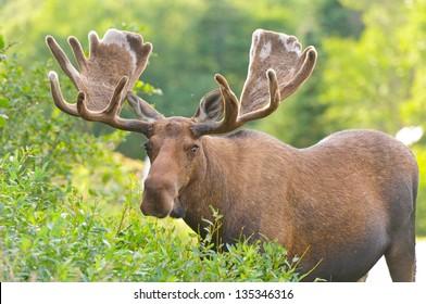 Moose in Velvet in Northern Newfoundland