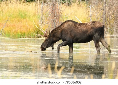 Moose wading in a Pond eating in the early morning