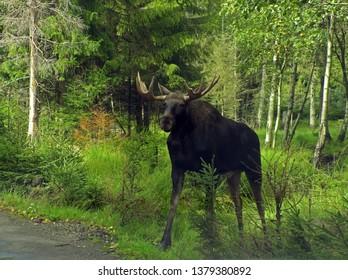 Moose Walking Down The Road. In Sweden.
