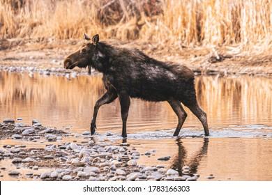 Moose Walking in the Water
