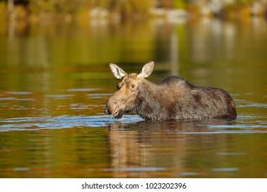 A Moose in Water