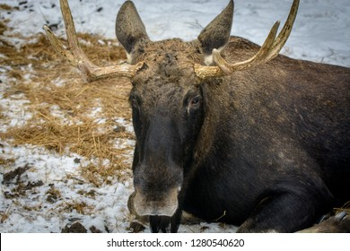 Moose in the winter