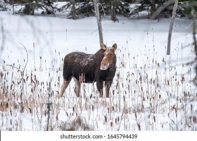 Moose In  Winter Algonquin Provincial Park Ontario Canada