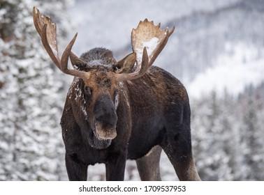 A moose in winter in Jasper, Canada