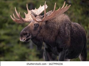 A moose in winter in Jasper National Park, Canada
