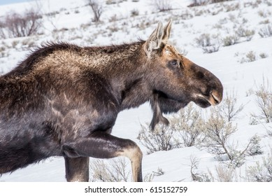 A moose in the Winter with snow in national park in USA