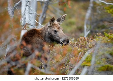 A moose in the woods of Maine