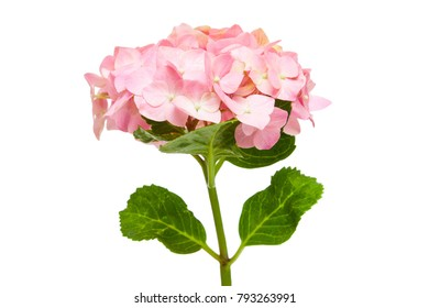 Mop head pink hydrangea flower isolated white background.