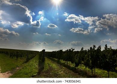 moravian vineyard landscape right before the grapes harvest