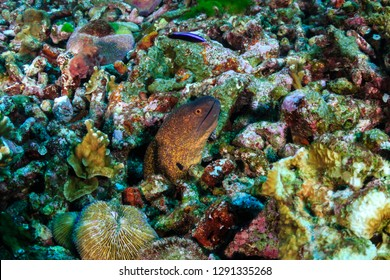 Moray Eel in an areas of dead coral on a damaged tropical coral reef