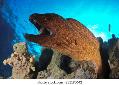 Moray Eel Attack Red Sea