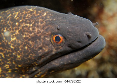 Moray Eel closeup