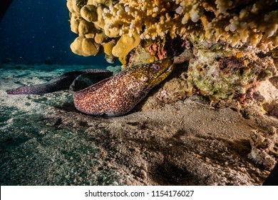 Moray eel Mooray lycodontis undulatus in the Red Sea, eilat israel a.e