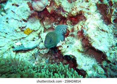 moray eel on the coral reef in Phuket,Thailand